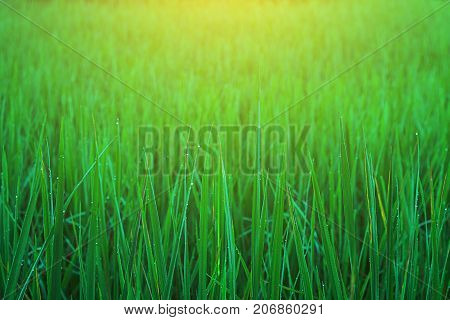 Field rice green close up nature outdoor.