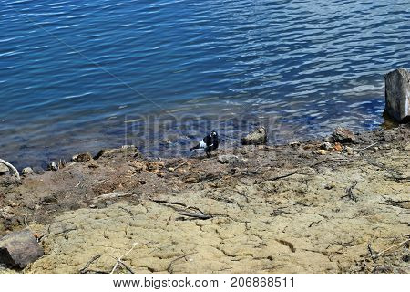 Australian Magpie By The Baroon Lake