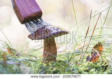 Mushroom hunting, gathering mushrooms in the wild. Cleaning mushroom with a brush.