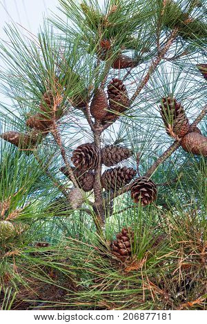 Many Cones Of Crimean Pine On Tree Branch