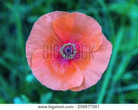 Isolated poppy flower on a green grass background. Closeup, beautiful flower details.