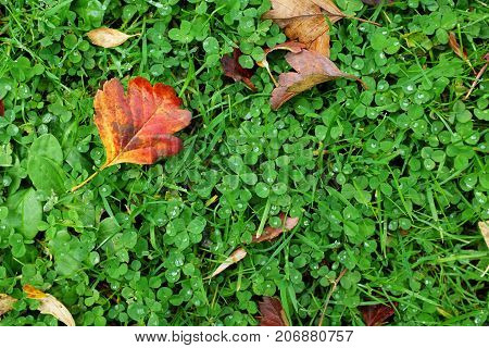 Red Hawthorn Leaf On Green Clover And Grass