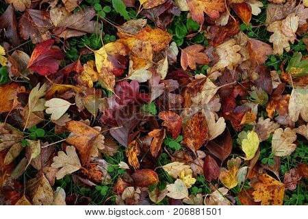 Abstract Background Of Red And Yellow Hawthorn Leaves