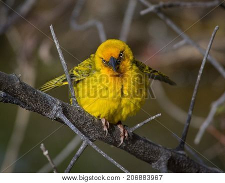 A Cape Weaver flutters his wings vigorously to attract a mate near Calitzdorp in South Africa