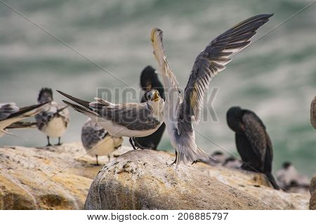 A Swift Tern looks furious as another lands close to it at Lambert's Bay, South Africa
