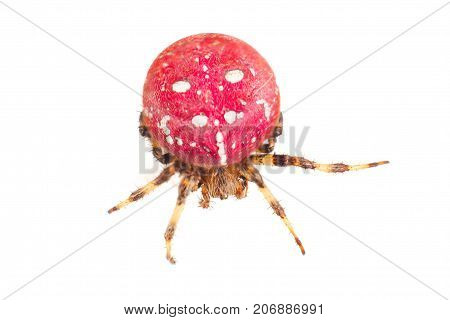 Red Spider. Large Red Spider With White Color Speck On Body. Isolated On White Background