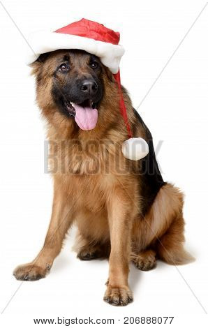 Portrait of a Young German Shepherd Dog wearing Santa's hat Standing on its hind legs against white background.