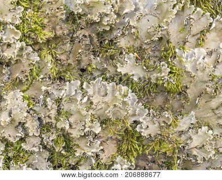 detail of a endangered lichen species named Scaly Dog Lichen