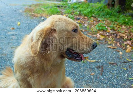 Young golden dog go for a sit in nature.