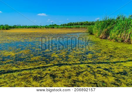 Green Algae On Surface Of The Lake