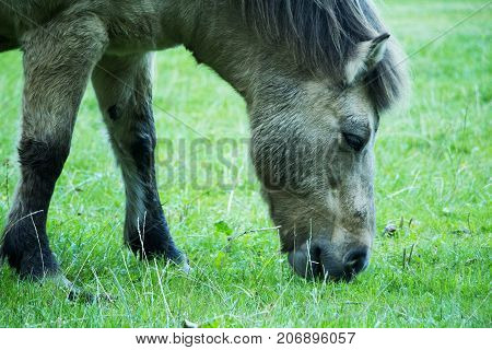 Grey horse eating green grass. Horse with mane ears eyes legs mouth and nose.