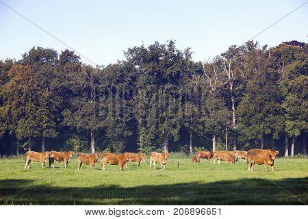herd of limousin cows near forest om utrechtse heuvelrug near Doorn in holland