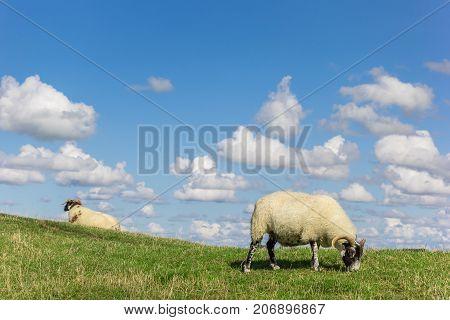 White sheep on a dutch dike near Groningen Netherlands
