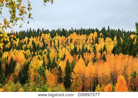 Yellow And Green Trees In Autumn Forest, Karelia, Russia.