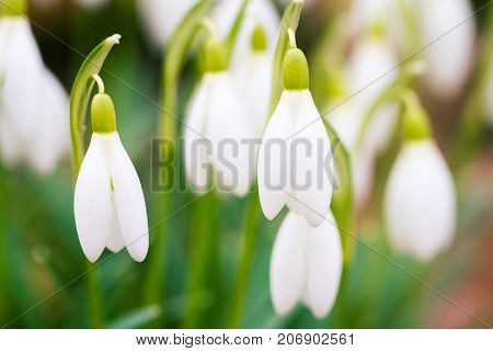 Closeup shot of fresh common snowdrops (Galanthus nivalis) blooming in the sunny day. Wild flowers field. Low deph of field