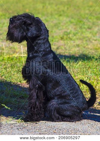 schnauzer dog . black miniature schnauzer. animal