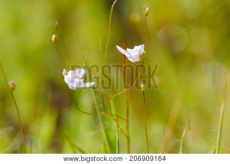 Bladderwort (Utricularia  minutissima): a very small carnivorous plant / insectivorous plant from Southeast Asia