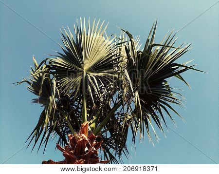 Crown of a Turkish palm on a blue sky background. The plant from the southern latitudes, thanks to the unusual pointed form of leaves, the plant has an expressive graphic appearance, perfectly suitable for decorating recreation areas