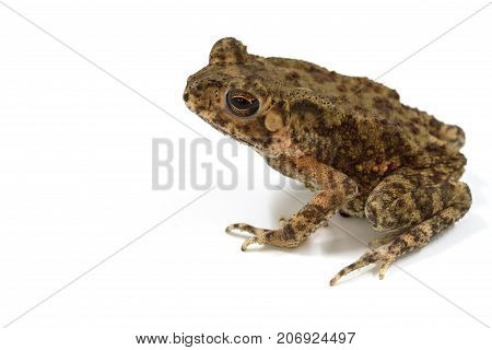 Asian Common Toad On White Background