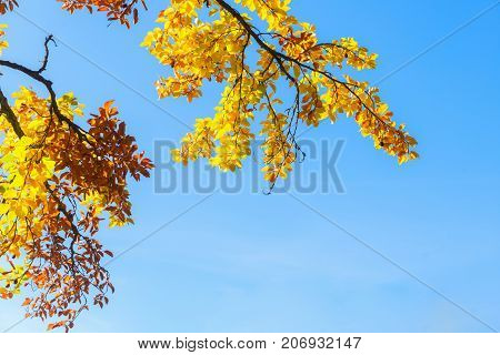 Vibrant yellow Walnut fall tree foliage with copy space on blue sky background