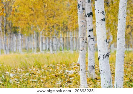 Autumn bright landscape with birch grove and the first snow