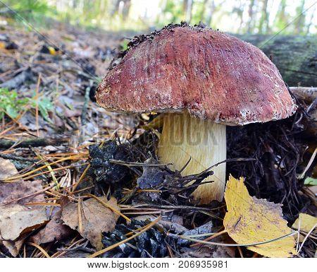 Boletus edulis mushrooms on old wooden background.Autumn Cep Mushrooms.Gourmet food or autumn harvest concept.Selective focus.