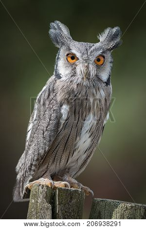 A full length upright portrait of a scops owl perched on a post and staring forward