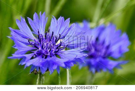 Close up of a beautiful blue Cornflowers in Spring sunlight