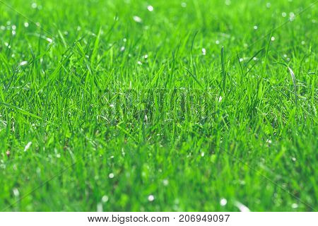 Green glass close up macro photo of grass after rain with dew water drops sparkling in nice soft bokeh background