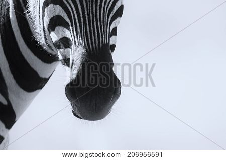 Close-up of a Zebra mouth in an high key artistic conversion