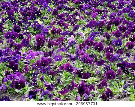 Summer flower nature background - a field lavender summer pansies flowers. Summer landscape with blooming flowers. Closeup of summer flowers. Summer flowers - beautiful summer pansies