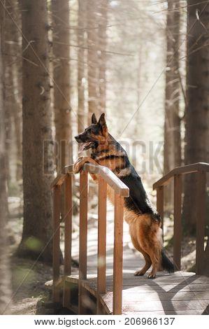 Dog German Shepherd Walks In The Woods