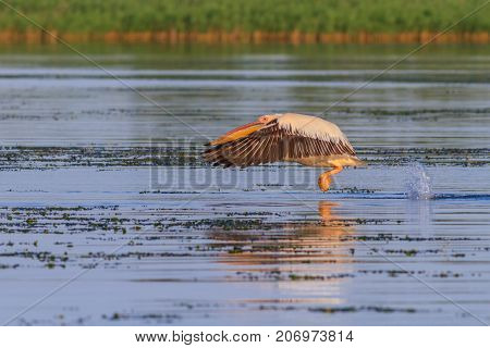 white pelican (pelecanus onocrotalus) in flight. Danube Delta Romania