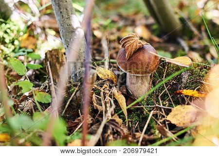Boletus edulis mushroom, also known as penny bun, cep, porcino or porcini in the autumn forest between fallen leaves