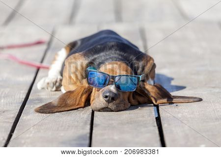 Little sweet puppy of Basset hound with long ears lies on a wooden floor and rests - sleeps. Puppy has sunglasses and is very sweet. Growing up playing happiness joke