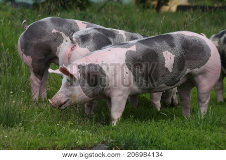 Spotted Pietrian Breed Pigs Grazing At Animal Farm On Pasture
