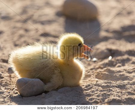 little gosling nature . In the park in nature