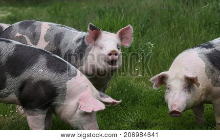 Cute Young Pigs Graze Together On Meadow
