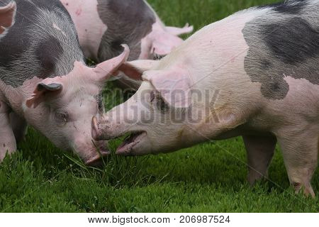 Young pietrain breed pig on natural environment