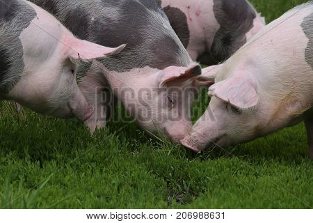 Group of young pigs on summer pasture