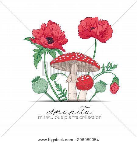 Opium poppy and amanita mushroom. Set of miraculous plants in botanical style. Stock line vector illustration.