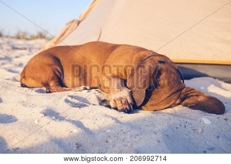 Funny Small Dog, Closing His Muzzle With His Paw, Sweetly Sleeps
