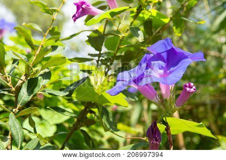 Blue morning glories in nature