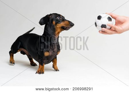 funny portrait of a dog (puppy) breed dachshund black tan looks at the soccer (football) ball in the hand of his master on gray background