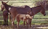 Foal braying together with other foal and two donkeys. poster