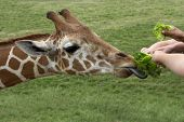 Young hands feed fresh lettuce to a hungry giraffe poster