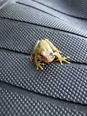 this small tree frog seems to be posing for the picture.....aint he cute? poster
