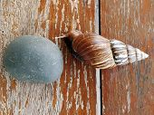 """Snail crawling on the wood table Burgundy snaila terrestrial """"Pulmonate"""" gastropod mollusk in the family """"Helicidae"""". poster"""
