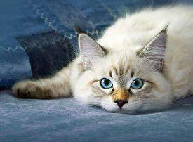 Siberian neva masquarade colorpoint kitten in home interior