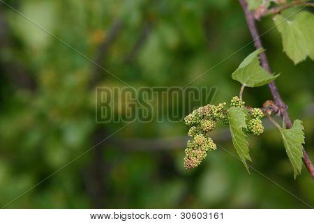 Baby Grapes V